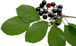 the benefits of cascara sagrada bark | super food army, Skeleton